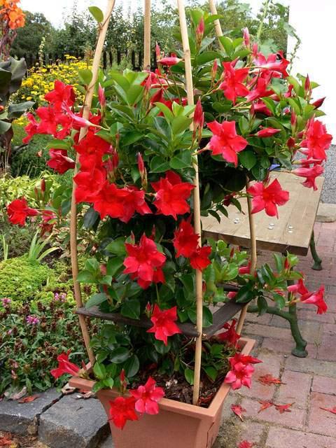 Blume sundaville